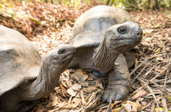 Giant Aldabra tortoise on an island in Seychelles. Royalty Free Stock Photography