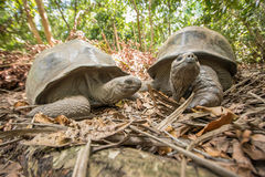 Giant Aldabra tortoise on an island in Seychelles. Stock Images
