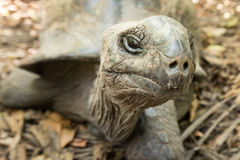 Giant Aldabra tortoise on an island in Seychelles. Royalty Free Stock Images