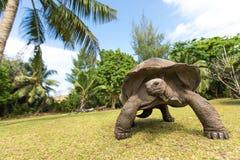 Giant Aldabra Tortoise On An Island In Seychelles. Royalty Free Stock Photos