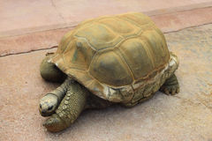 Giant aldabra tortoise Royalty Free Stock Images
