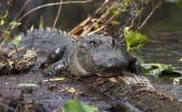 Giant alligator in the Okefenokee Swamp stock photos