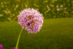 Giant Allium flowering Royalty Free Stock Photography