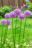Giant Allium Stock Photography