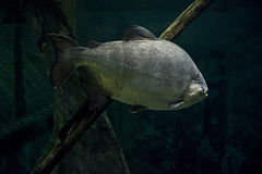 Giant Amazon River Fish Underwater Scene Stock Photography