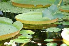 Giant Amazon water lily. (Victoria amazonica stock photo