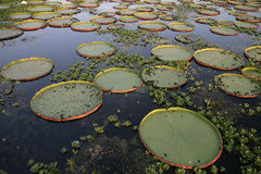 Giant Amazon water lily, Victoria amazonica Royalty Free Stock Photos
