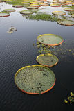 Giant Amazon water lily, Victoria amazonica Stock Image