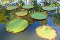 Giant Amazon water lily.Victoria Amazonica lotus stock photo