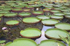 Giant Amazonian Water Lily Pads Royalty Free Stock Photos