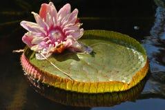 Giant Amazonian Waterlily. Latin name Victoria Amazonica Royalty Free Stock Photos