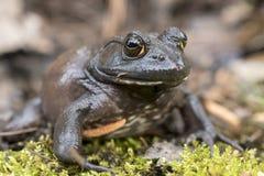 Giant American Bullfrog, Georgia. American Bullfrog, Lithobates catesbeianus or Rana catesbeiana, found in a small koi pond in Athens, Clarke County, Georgia. It stock image