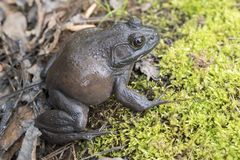 Giant American Bullfrog, Georgia. American Bullfrog, Lithobates catesbeianus or Rana catesbeiana, found in a small koi pond in Athens, Clarke County, Georgia. It stock photo