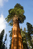 Giant Ancient Seqouia Tree California National Park Redwoods Royalty Free Stock Photos