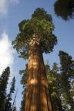 Giant Ancient Seqouia Tree Kings Canyon National Park Stock Image