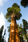 Giant Ancient Seqouia Tree Kings Canyon National Park. Giant Ancient Sequoia Tree Kings Canyon National Park Stock Images