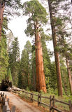 Giant Ancient Sequoia Tree Kings Canyon National Park Royalty Free Stock Photography