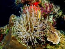 Giant Anemone on Coral. Orange sponge, star coral Stock Photo