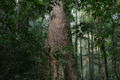 Giant Anisoptera costata tree. Taksin Maharat National Park in Mae Sot district locate in Tak Province, Thailand also at border between Thailand and Burma stock photo
