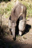Giant ant eater Royalty Free Stock Photo