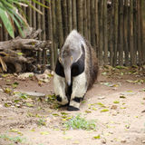 Giant ant eater walking Royalty Free Stock Image