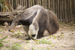 Giant ant eater walking Stock Photography