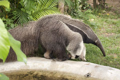 Giant ant eater Stock Photos