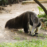 Giant ant eater Stock Photography