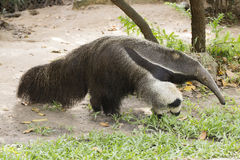 Giant ant eater. Walking and looking something Royalty Free Stock Photo
