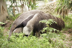 Giant ant eater Royalty Free Stock Photos