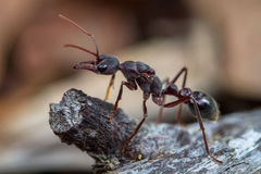 Giant Ant Royalty Free Stock Photo