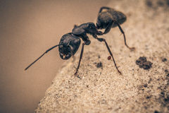 Giant Ant Royalty Free Stock Photography
