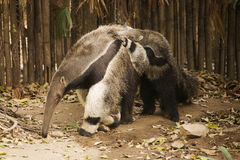 Giant Anteat and baby Royalty Free Stock Photos