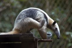 Giant Anteater. Siting and bending forward, Belize Zoo Royalty Free Stock Images