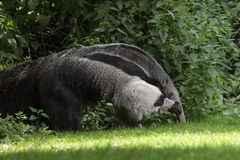 Giant anteater Royalty Free Stock Images