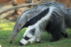 Giant anteater. The giant anteater strolling in the grass stock image