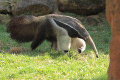 Giant anteater Royalty Free Stock Photography