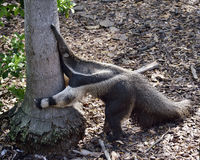 Giant Anteater Stock Images