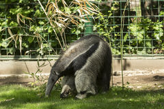 Giant anteater. Anteater is a common name for the four extant mammal species of the suborder Vermilingua meaning `worm tongue` commonly known for eating ants and Royalty Free Stock Images
