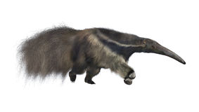 Giant Anteater royalty free stock image
