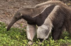 Giant Anteater. A giant anteater, mymeophaga tridectyla, roams around its confine within the Palm Beach Zoo in West Palm Beach, Florida Royalty Free Stock Photo
