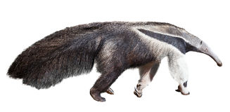 Giant anteater Royalty Free Stock Photos