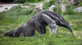 Giant anteater 5 Royalty Free Stock Photography