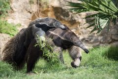 Giant Anteater Mom Carrying Baby On Back royalty free stock photography