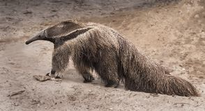 Giant Anteater. A giant anteater, mymeophaga tridectyla, roams around its confine within the Palm Beach Zoo in West Palm Beach, Florida Stock Photos