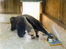 Giant anteater - Myremacophaga tridactyla - drinks water from a bowl on the doorstep of an apartment  building. Giant anteater - Myremacophaga tridactyla Stock Photography
