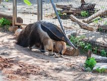 Giant anteater - Myremacophaga tridactyla - is walking on the ground on a sunny day stock images