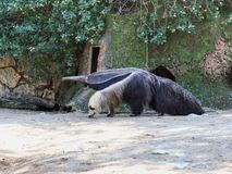 Giant anteater - Myremacophaga tridactyla - is walking on the ground  on a sunny day. Giant anteater - Myremacophaga tridactyla - is walking on the ground on a Royalty Free Stock Photos