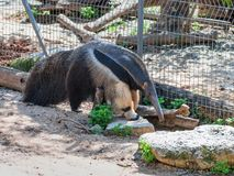 Giant anteater - Myremacophaga tridactyla - is walking on the ground  on a sunny day. Giant anteater - Myremacophaga tridactyla - is walking on the ground on a Royalty Free Stock Image