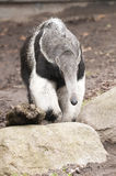 Giant Anteater, Myrmecophaga tridactyla,. The Giant Anteater, Myrmecophaga tridactyla, is the largest species of anteater. It is found in Central and South Royalty Free Stock Photography